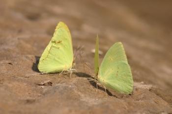 palebutterflies