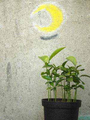 moonplant